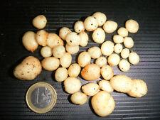 Wild Andean Potato, Devil Potato - Solanum acaule - 10 fresh (2017yr) seeds
