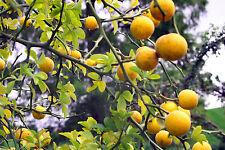 Trifoliate Orange, Poncirus trifoliata 5+ seeds