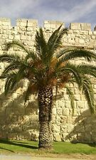 20 Mixed Date Seeds Israeli Organic Palm Tree Medjool Dekel  Zahidi  תמר مواعيد