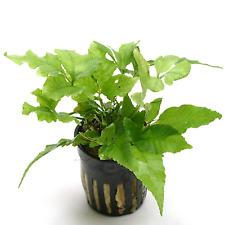 Bolbitis Asiatica Pot Fern B2G1 Freshwater Live Aquarium Plant Decorations Tank