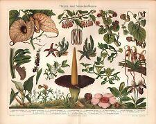 Fliegenblumen Schneckenblumen Cypripendium barbatum LITHOGRAPHIE um 1900