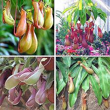 20pcs Raro Planta Semillas Follaje Nepenthes Mirabilis Carnívora Carnivora Seeds
