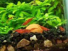 Live 10 + 2 Red Cherry Shrimp Neocaridina homebred freshwater freshwater fish