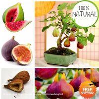 Tropical Fig Bonsai Seeds Plants Mini Tree Fruit Natural Growth Rare 50pcs/bag