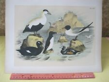 Vintage Print,EIDER DUCK,Birds of North America,J.Stucker,1888,Plate 65