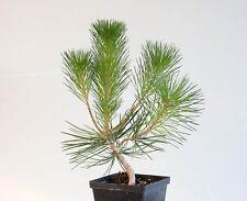 10 Japanese Black Pine (Pinus Thunbergii) Bonsai Tree Seeds, Rare Bonsai Seeds