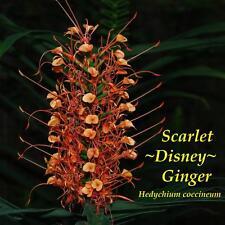 ~SCARLET DISNEY GINGER~ Hedychium coccineum aka Honduras Form LIVE Potted PLANT