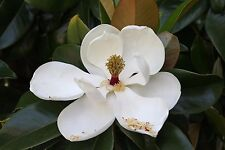 Magnolia grandiflora COLD HARDY FORM SOUTHERN MAGNOLIA Seeds!