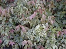 Girard's Rainbow Leucothoe - Live Plant - Shipped 1 to 2 Feet Tall