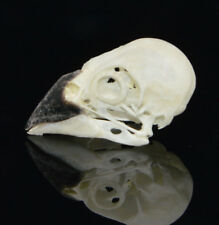 real Taxidermy bird skull bones skeleton specimen Arts Crafts White rumped Munia