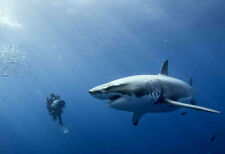 GREAT WHITE SHARK  * QUALITY  CANVAS PRINT