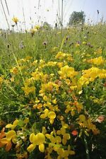 British Wild Flower - Lotus corniculatus - Birdsfoot Trefoil - 300 Seed