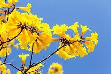 leuchtend gelbe Blüten verbreiten einen lieblichen Duft: gelbe Trompetenblume.