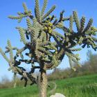 Opuntia Spinosior cactus succulentes kakteen кактус plantes piantes vivaces