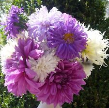 Aster Ostrich Feather 100 seeds * Cut flower * Unique Large Bloom  CombSH D88