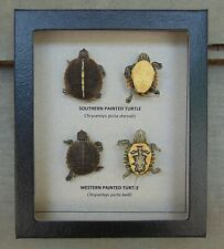 502) Real Taxidermy Southern and Western Painted Turtle Hatchling Comparison 5X6