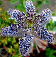 100 Pcs Seeds Lithops Succulent Flowers Pseudotruncatella Living Stone Mini NEW