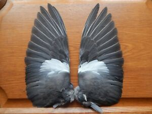 Pair Dried Pigeon Wings Bird Wings Fly Tying  Feathers Arts Crafts