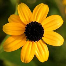 50 Seeds *Rudbeckia Triloba *Brown Eyed Susan* Lovely Yellow Flowers on Branches