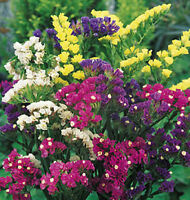 Heirloom STATICE MIXED COLORS Limonium sinuatum✿500 SEEDS✿Cut or Dried Flowers