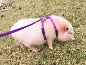 baSIX© Potbelly Pig Harnesses & Leashes - by piGGlz.com