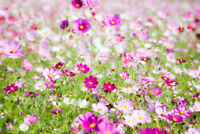 200/600 Graines de Cosmos Sensation VARIE Fleurs Idéal Jardin Sauvage
