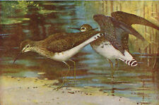 Green Sandpipers On Migration 1930s Vintage Bird Print AW Seaby BB129B Sandpiper