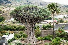 Canary Island Dragon Tree DRACAENA DRACO Fresh 10 Seeds