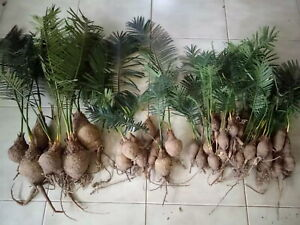 Dioon spinulosum for planting