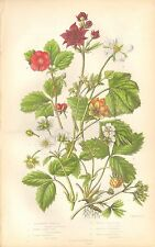 1860 CA Antiguo-Anne Pratt Impresión Botánica-Bramble, frambuesa, fresa,