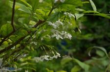 Wrightia religiosa, Echites religiosa water jasmine