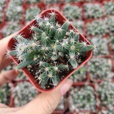 Trichodiadema Densum Rare Succulent Cactus Plant Shown in 2