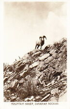 MOUNTAIN SHEEP, CANADIAN ROCKIES - 1940s PHOTO POSTCARD
