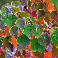 SAPIUM Sebiferum Chinese Tallow Tree Seeds (ES 33)