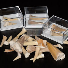 Shark Tooth Fossil in Display Case Megalodon White Teeth ~ Children Party Gift ~
