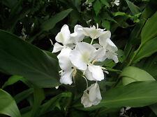 Fragrant - Butterfly Bush - White Ginger Flower -  Root #Z301BBB