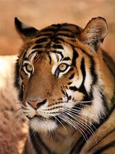 TIGER ANIMAL NATURE CAT PHOTO ART PRINT POSTER PICTURE BMP1434A