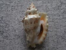 Sea Shells Strombus granulates / Granulated Conch 86mm ID#3660B (Freak form)