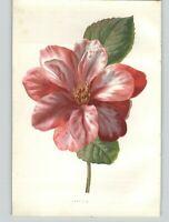 1880 Chromolithograph Camellia Red White Flower Botanical Print & 4 PG Bio
