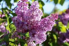 French Lilac 10 Seeds - Fragrant, Impressive Flowers