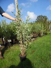 Ligustrum Flowering Shrubs & Hedges