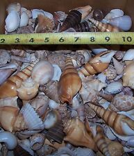 1 lb+ Large Indian Ocean Shell Mix Seashells Beach Cottage Decor Nautical Crafts