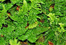 3 x Fern Jumbo Plug Plants 'Dryopteris Crispa' Perennial Shade Lover