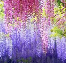 10pcs 00004000  Purple Wisteria Flower Seeds Perennial Climbing Plants Bonsai Home Garden