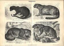 Stampa antica ANIMALI felini PANTERA GIAGUARO LEOPARDO 1890 Old antique print