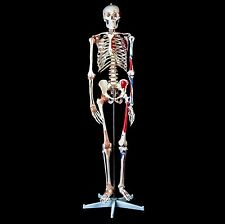 Advanced 180cm Tall Human Skeleton Model with Ligaments & Painted Muscles
