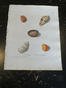 Shells - Wolfgang Knorr, Nuremberg, ca: 1764, Plate XIII