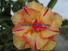 "NEW !!ADENIUM OBESUM DESERT ROSE ""LUENG KHAMDEE"" 2 GRAFTED PLANTS RARE FRESH!!"