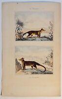 Marmose / Cayopollin - antik Kolor-Steindruck/Litho um 1800 - Buffon