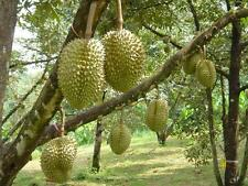 NEW!3Fresh tropical exotic Durian tree plant fruit seeds from Asia thai
